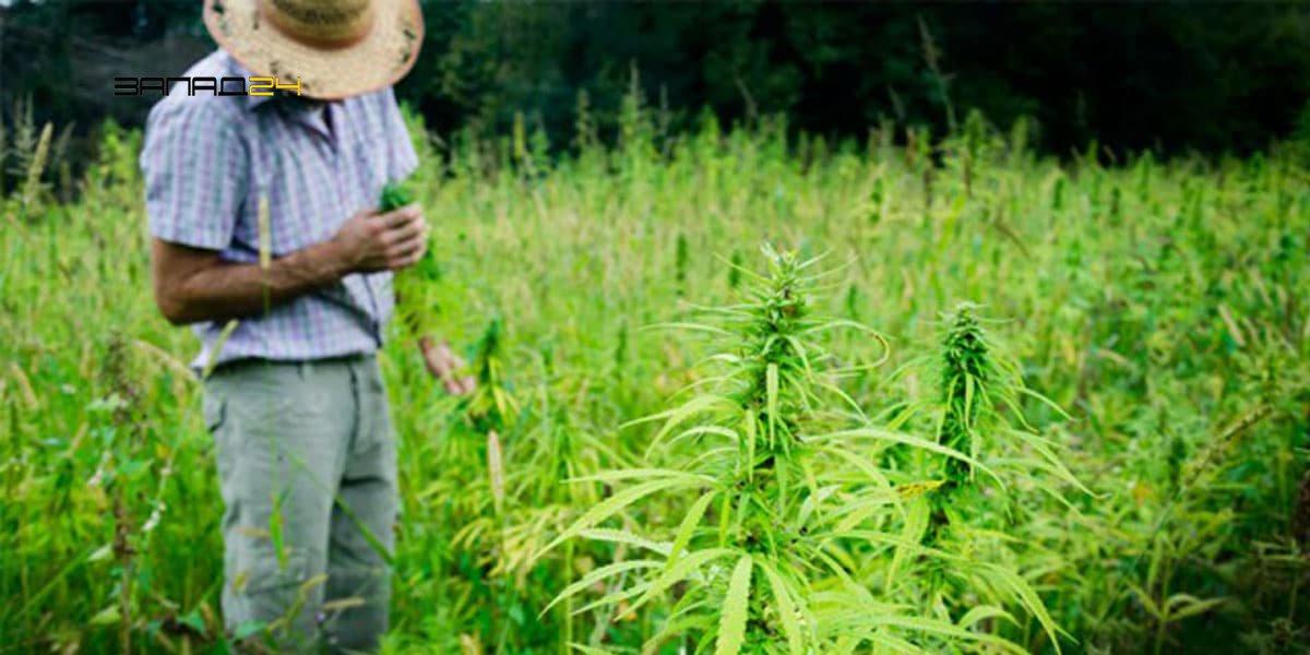 Как соберать с конопли содержание смолы в марихуане