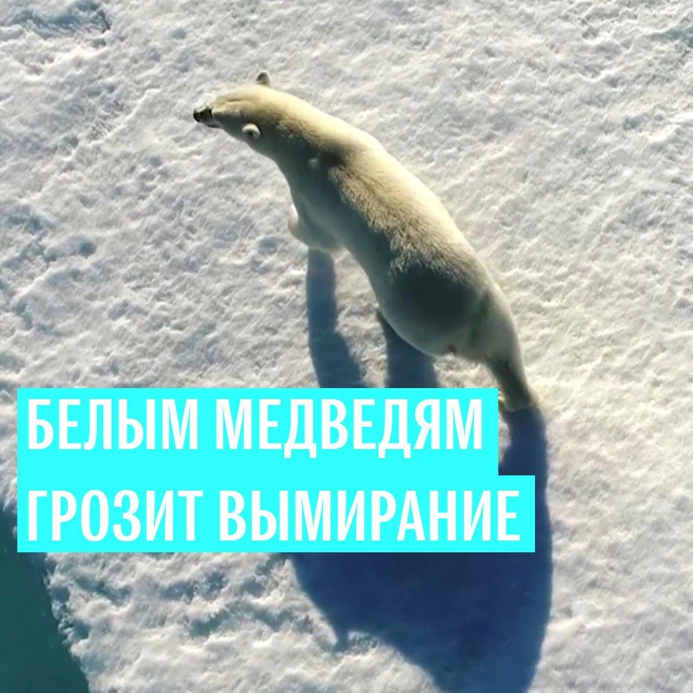 #РИА_Видео Таяние арктических льдов поставило под угрозу выживание белых медведей. По прогнозам ученых, уже через 10 лет численность этих животных сократится до критической отметки.