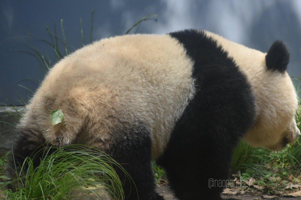 かわいいブローチみつけちゃいました♪🍃2018.9.17 オシャレしてご帰宅🏡#シャンシャン  #上野動物園
