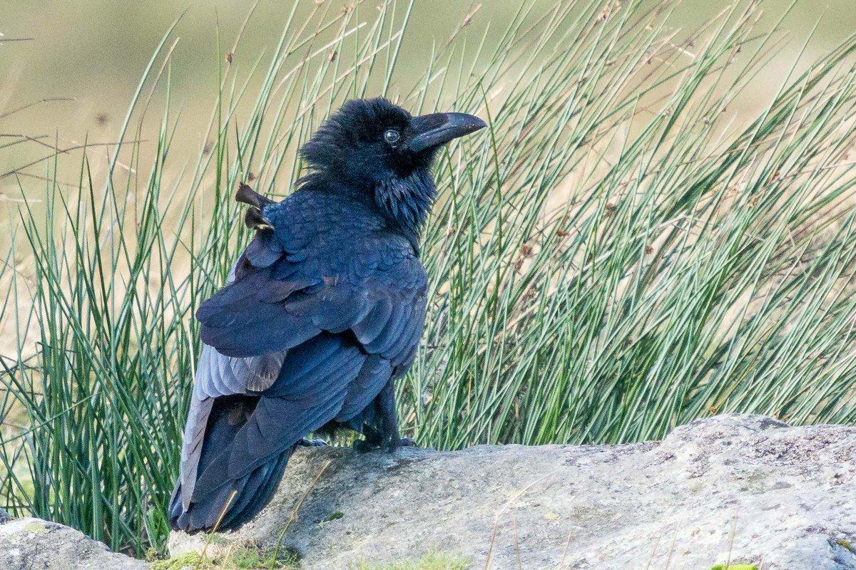 Wind blown ravens can often be found on the slopes of Ben Lomond.  @RSPBScotland @wildlife_uk<br>http://pic.twitter.com/WfSlsRxKug