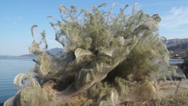 Grèce : une toile d'araignée géante recouvre une plage de 300 mètres bit.ly/2OInhEI