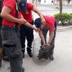 Image for the Tweet beginning: Realizamos el rescate de un