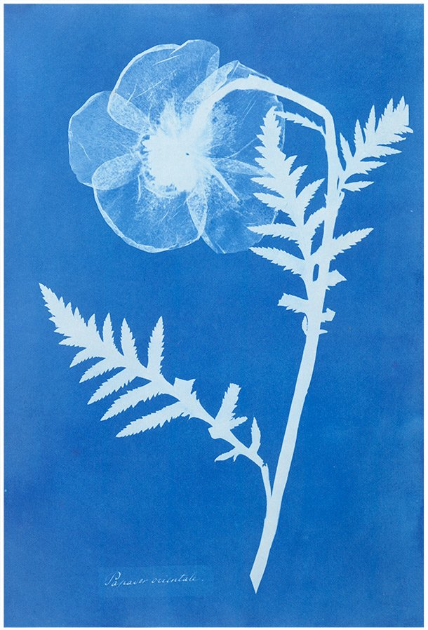 &#39;Poppy&#39;,1852, by Anna Atkins, UK pioneer in photography and botany, created by cyanotype process, such photographs were among 1st ever published  #womensart<br>http://pic.twitter.com/BrDqOjjuWo