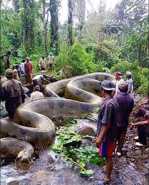 世界最大の蛇オオアナコンダナ!その大きさと長さで人間も牛も丸呑みにしてしまうようです。
