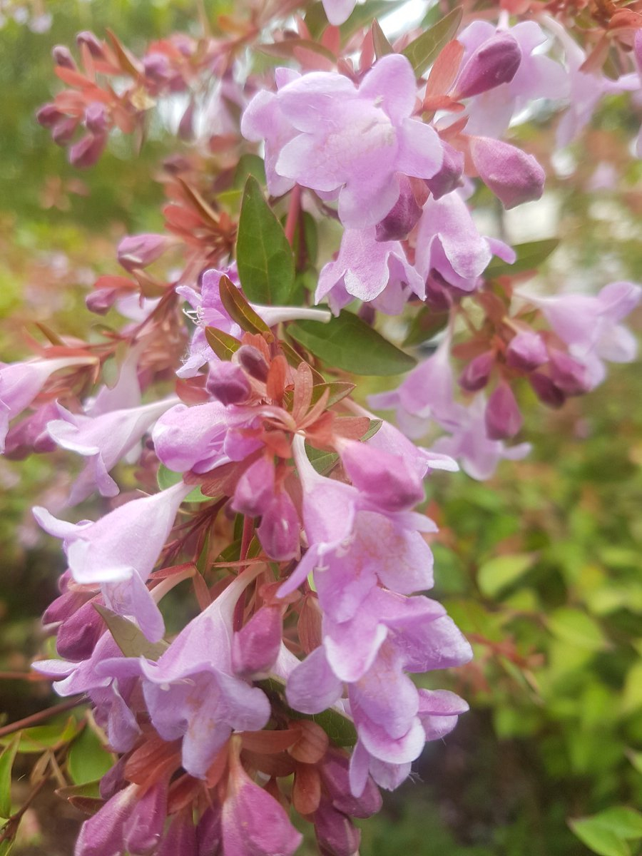 André Briant Jplants On Twitter Abelia Grandiflora Pink Pong