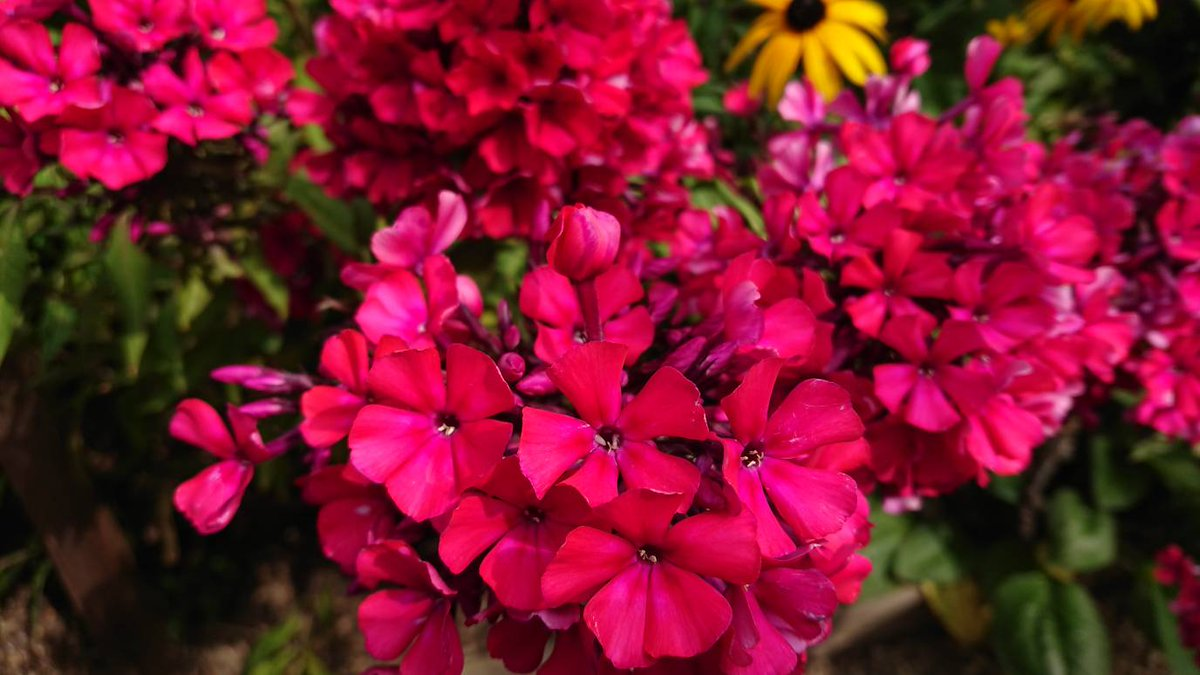Mark Lane On Twitter I Love Phlox Paniculata When In Bud And In