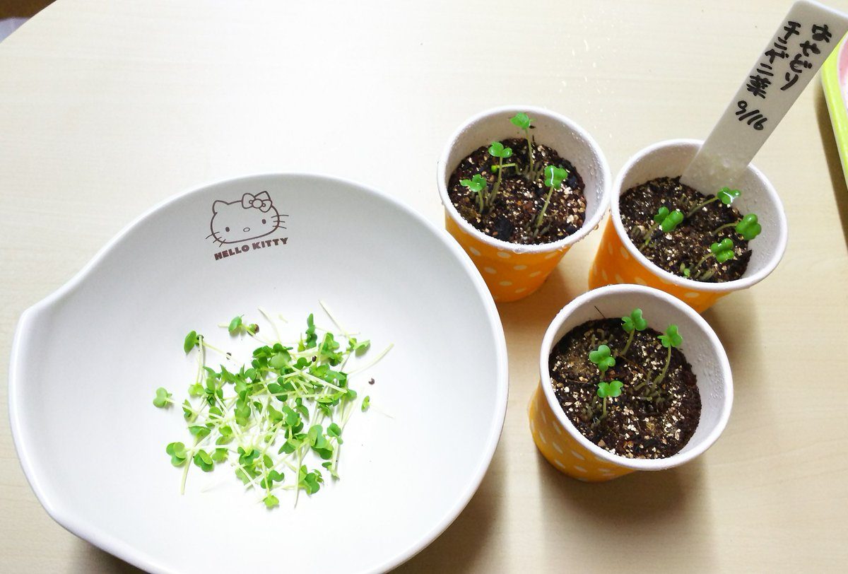 test ツイッターメディア - チンゲン菜の双葉がいっぱいになってきたので1回目の間引きしました。 切った株は良く洗って冷奴にのせて頂きました? DAISOでハロウィン??の手拭いが可愛かったのでカフェカーテンにしました。  #ベランダ菜園 #チンゲン菜 #間引き #DAISO #ハロウィン https://t.co/aIukxt5wac