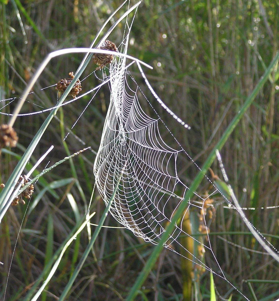 Dont forget the little ones: 17% of GBs 670+ spider species are threatened with extinction. Spiders are essential to normal functioning of ecosystems & ultimately our well-being. @ChrisGPackham @IUCNSpiderSG #PeoplesWalkforWildlife @Ecoentogeek