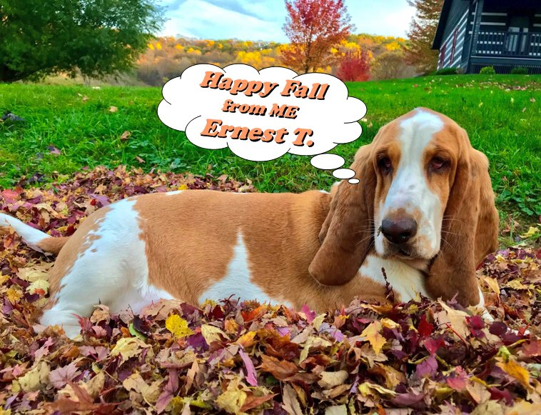 """#dogsoftwitter #HappyFall """"I'm the ONLY MocklerBasset (No """"S"""") in this #PictureOfTheDay taken by Mom @JoleeMockler !"""" Enjoy your #sunday , Ernest T. <br>http://pic.twitter.com/fISfpNoiq5"""