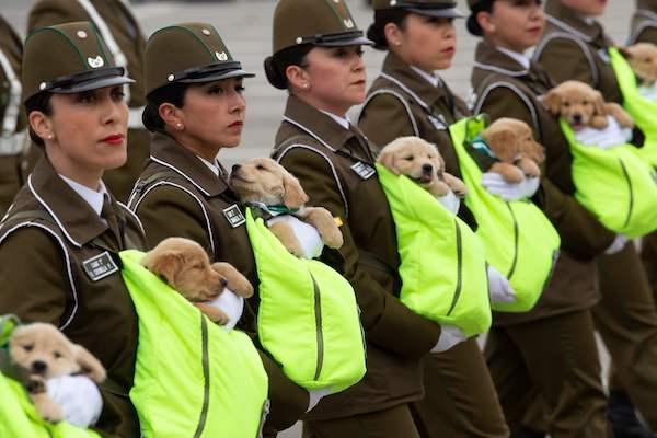 """【可愛すぎる】チリの記念パレードで""""警察犬のたまご""""が大行進 https://t.co/njHn0403Un  現地時間20日、独立記念軍事パレードが開催。ゴールデンレトリバーの仔犬たちが女性隊員に抱えられて行進し注目を集めた。"""
