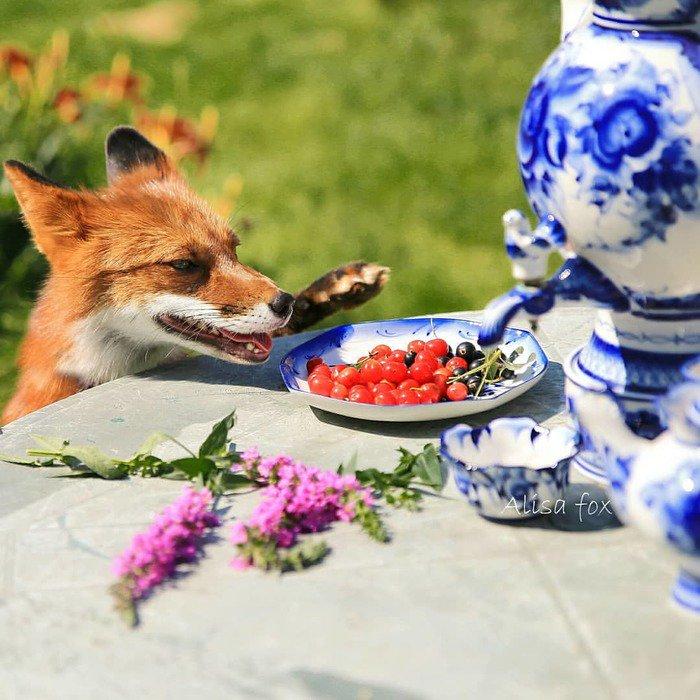 усиливает картинки с лисицами доброе утро своя