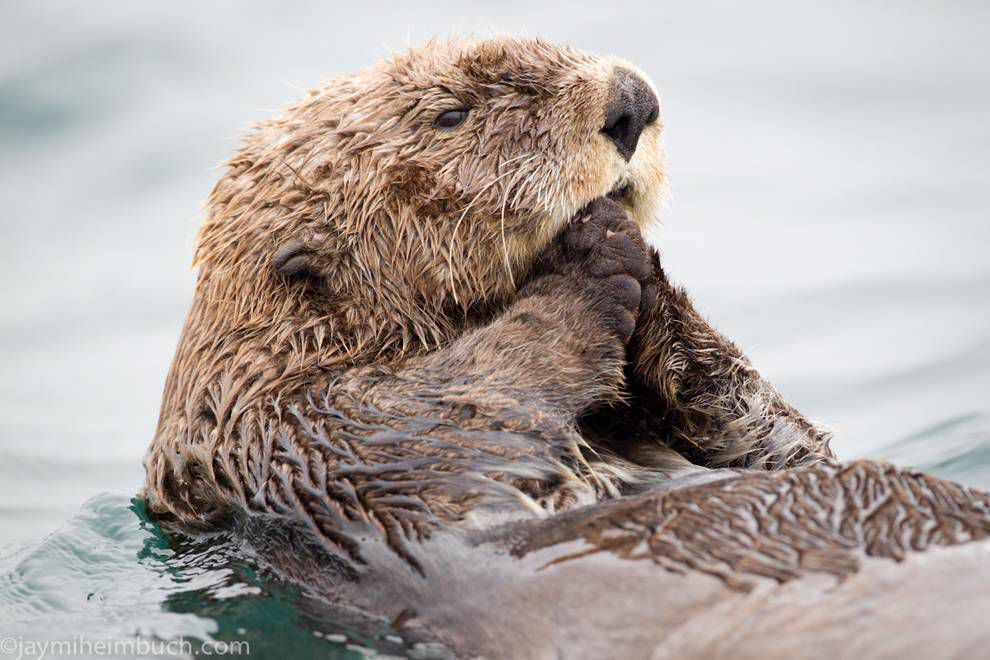 Why sea otters always hold their paws up #seaotterawarenessweek https://t.co/Xh6ZiW9zs6