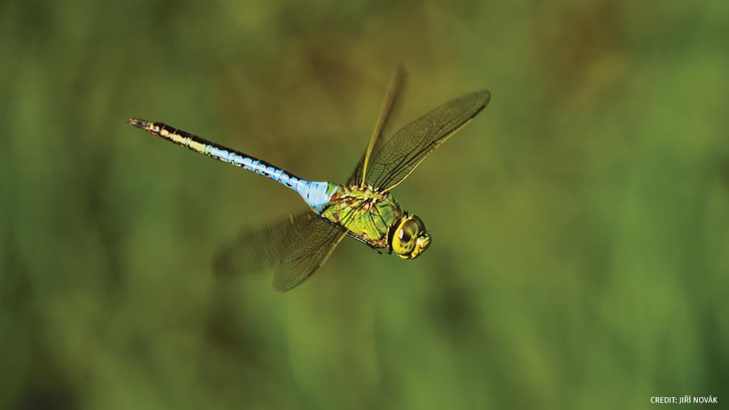 Did you know more than a million common green darner dragonflies have been documented gathering for migration along Chicagos Lake Michigan? Learn more about migrating insects: bit.ly/2RxBoi9