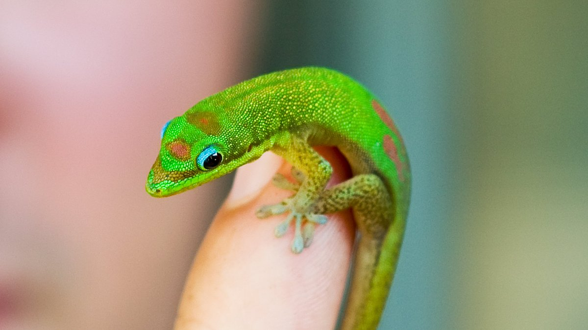 Mystery phone calls from Hawaiian animal hospital blamed on tiny gecko https://t.co/cCy26hBh5V