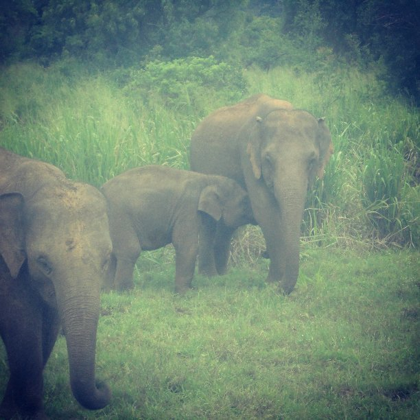 Bad time for Sri Lankan Elephants  ! 3 Elephants died after hitting a train in #LKA Welikanda area yesterday, 4 #Elephants died in Habarana area Sep 17.  9 elephants died after got stuck in mud stream in Pollonnaruwa Sep first week #SriLanka #SriLankanElephants pic.twitter.com/pa7hDDvRXG