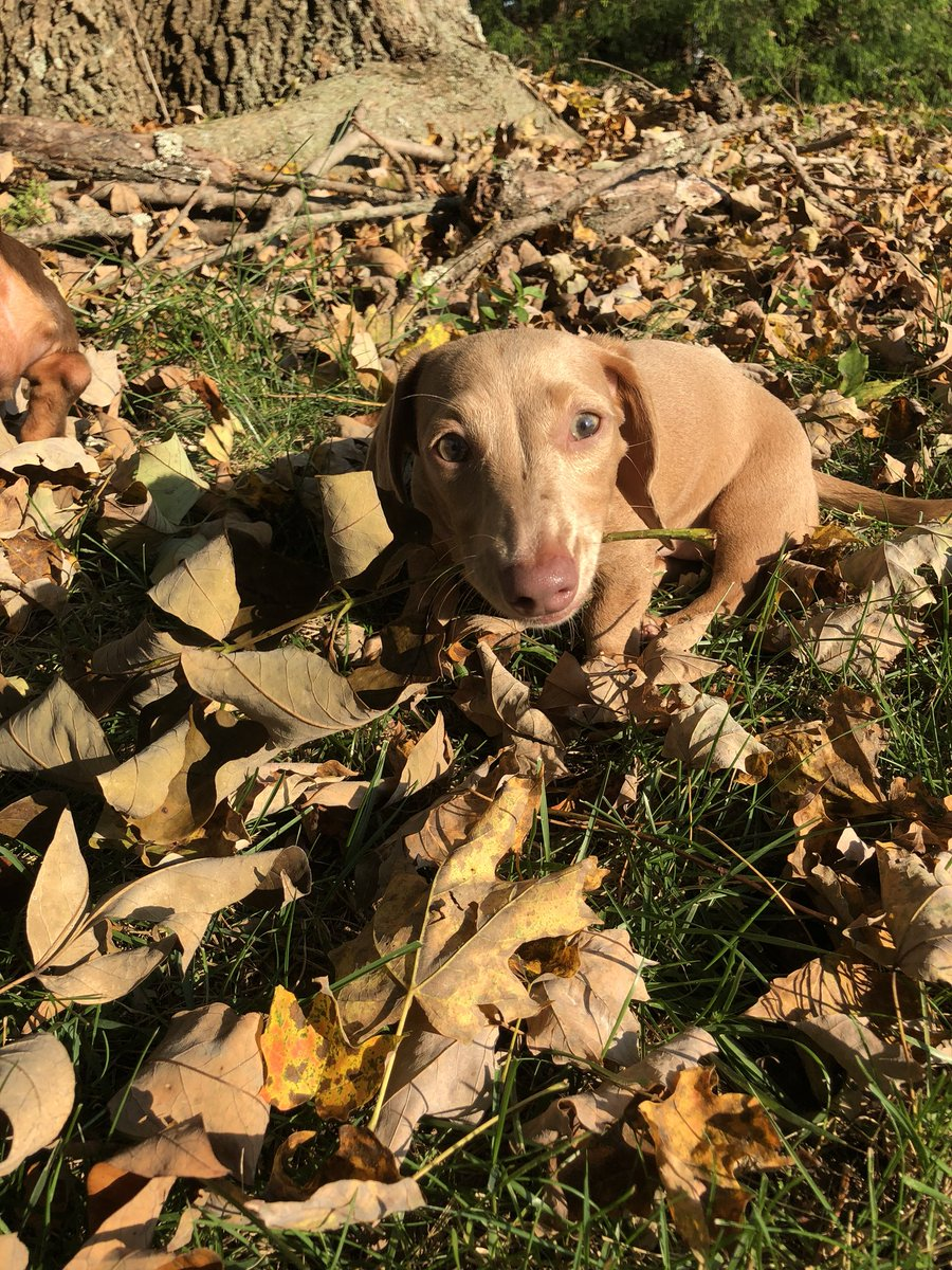 Ginger and Presley love playing in the leaves. 🍁🍂