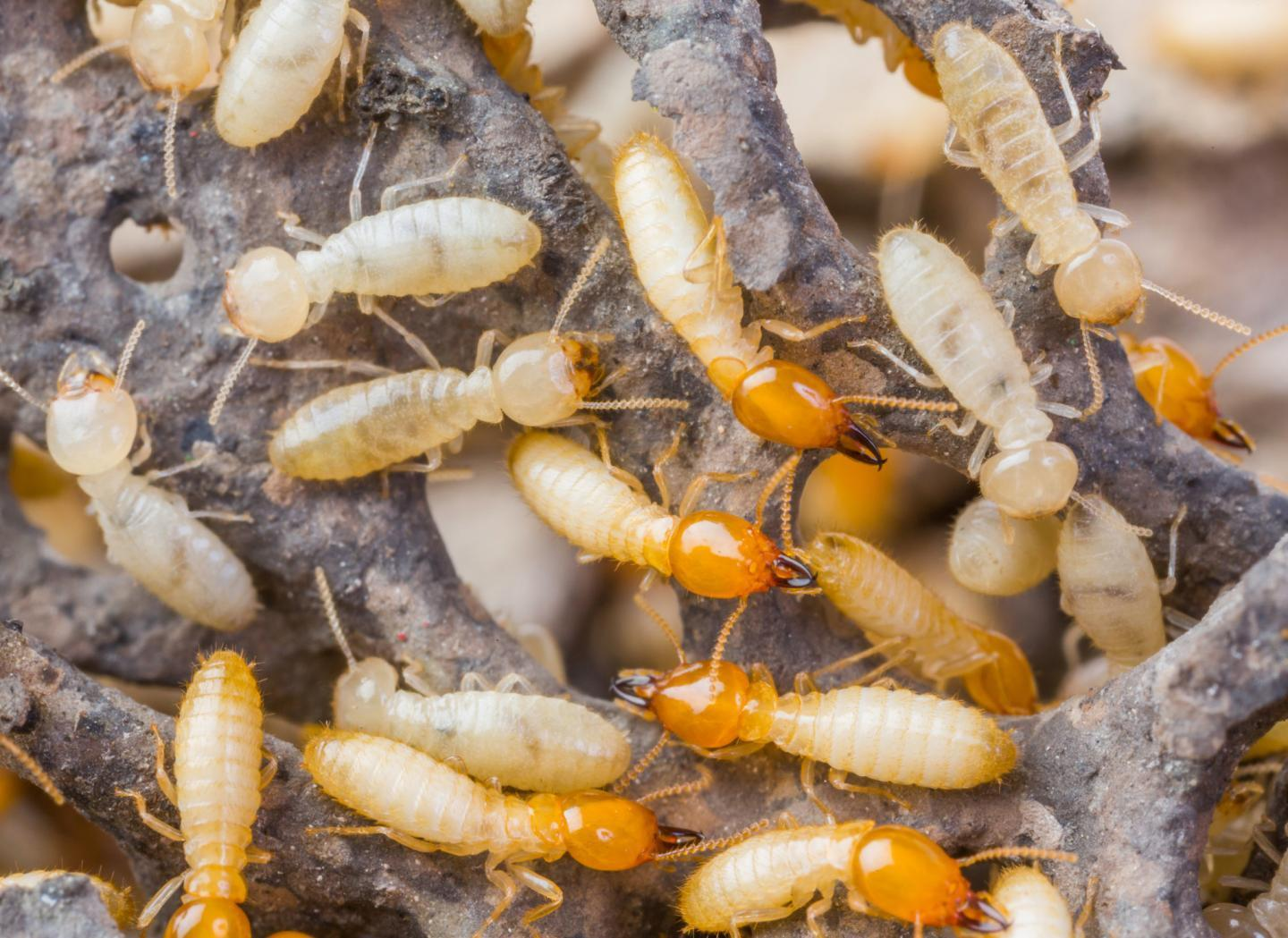 Female termites in Japan are reproducing without males https://t.co/8Zwl0AqQ62 https://t.co/VnBAxdXdV4