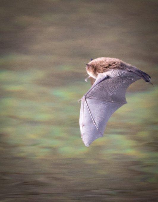 Vandaag is het International Batman Day! 🦇 Misschien is deze batman(woman?) gecast voor de volgende Batmovie. In de #Amsterdamse Waterleidingduinen speelt het beestje alvast nachtelijks een rol 😜 #vleermuizen #batmanday  (foto: Erik La Lau)