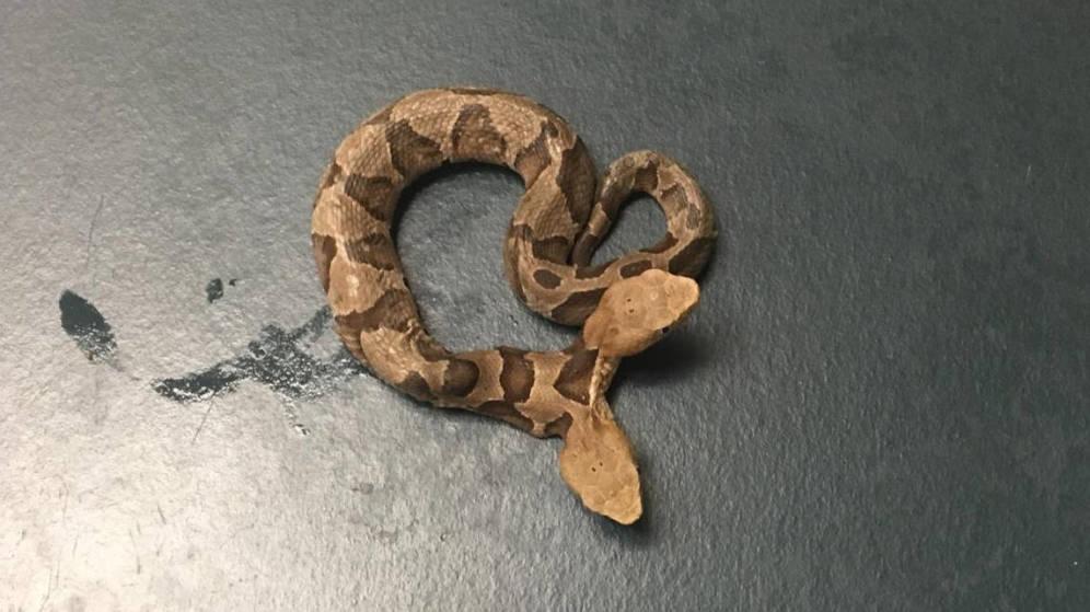 La extraña serpiente de dos cabezas hallada en EU