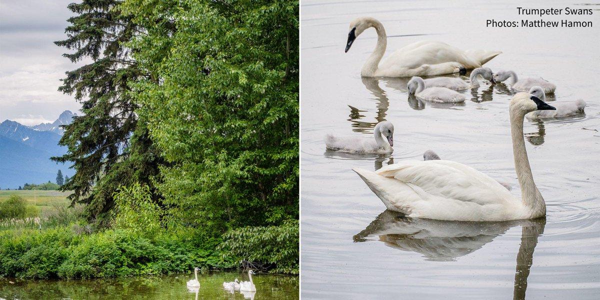 Swans Have Come Back >> Audubon Society On Twitter Confederated Salish And Kootenai Tribes