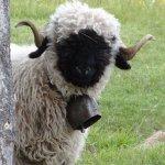 これが生身の生き物・・・?ファンタジーで可愛すぎるスイスの羊!