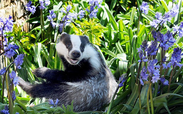 the news is a mess so focus on badgers with purple flowers for a moment