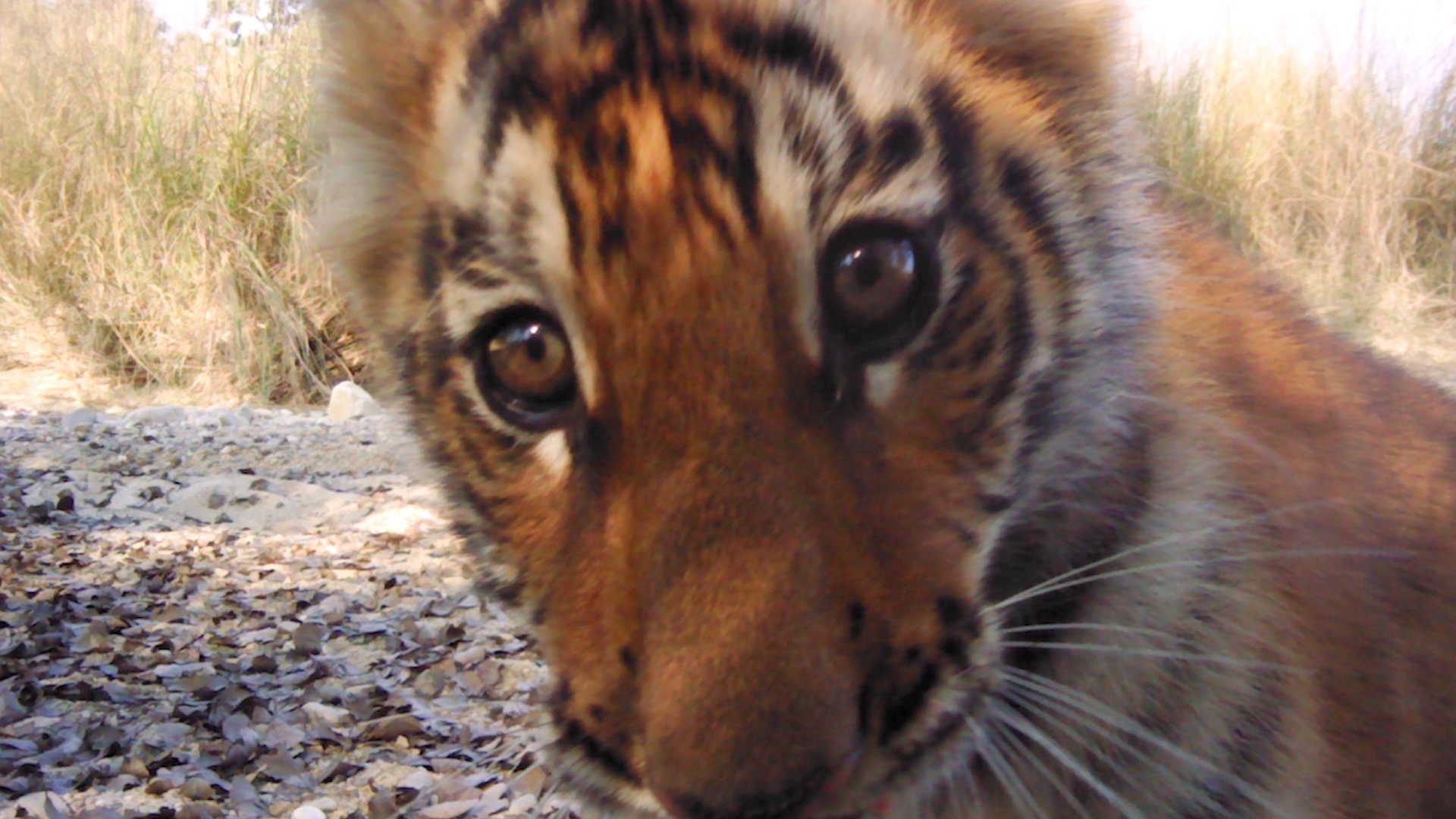 The tiger population in Nepal is doing very well thanks to an excellent conservation 'recipe' https://t.co/MibZ6WDRti