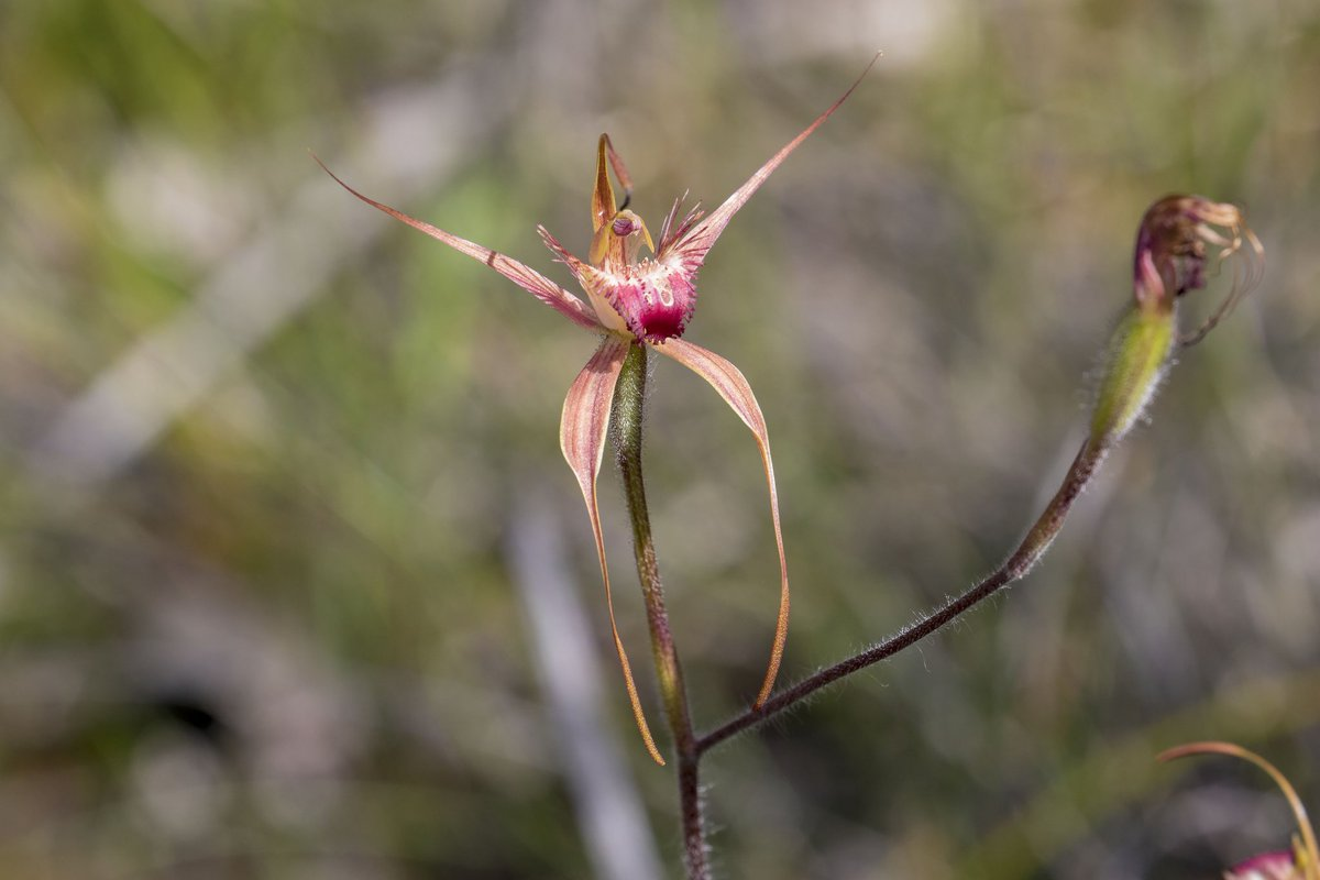 King Spider Orchid at Brixton Street Wetlands