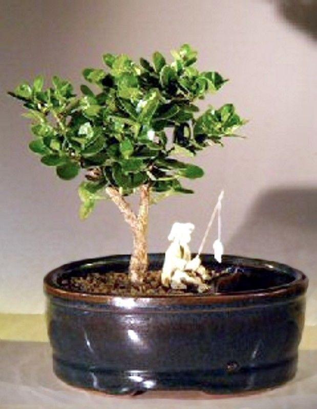 Wikibonsai Com On Twitter Plum Bonsai Tree Flowering Indoor Land Amp Water Pot Carissa Macrocarpa 5 Y 7 Https T Co 3xrsbkubqb Juniper Juniperusbrevifolia Juniperusphoenicea Https T Co Hcq9qsxivh
