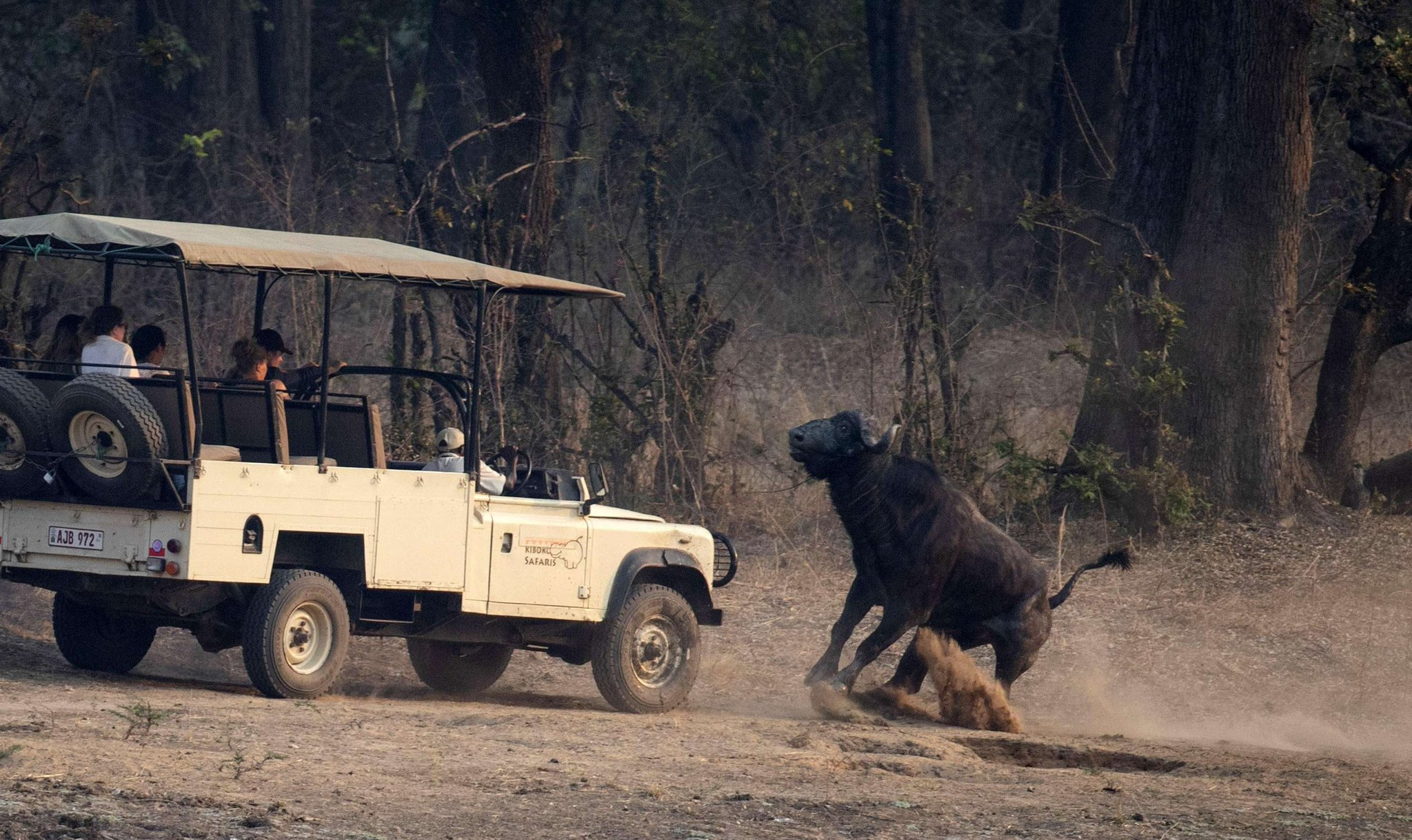 одно красивейших фото буйволиц и автомобили капюшоне