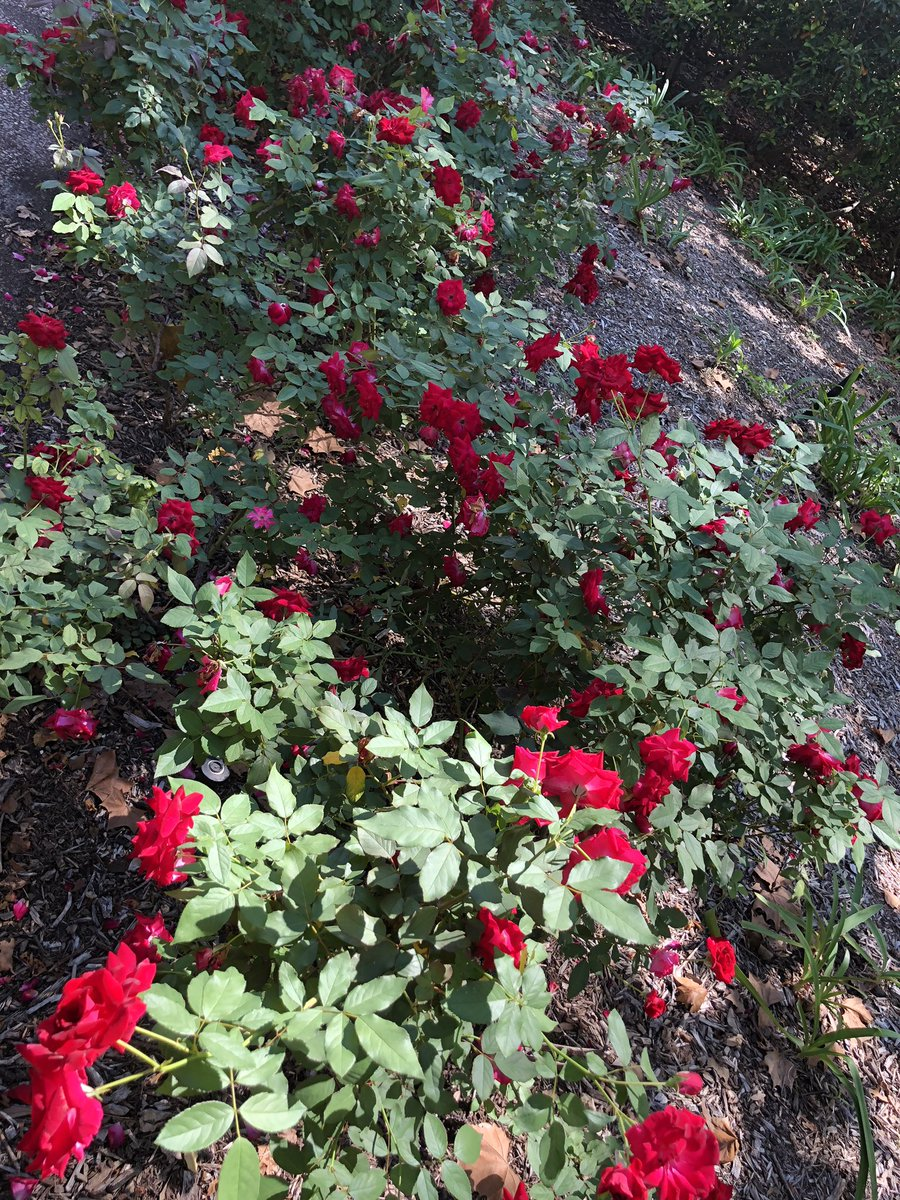 Renu Khator On Twitter Good Morningred Roses On Campus In Full