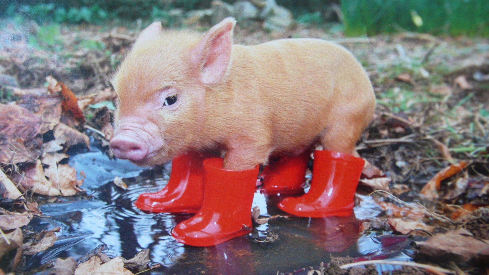 Картинки про свиней прикольные, открытка