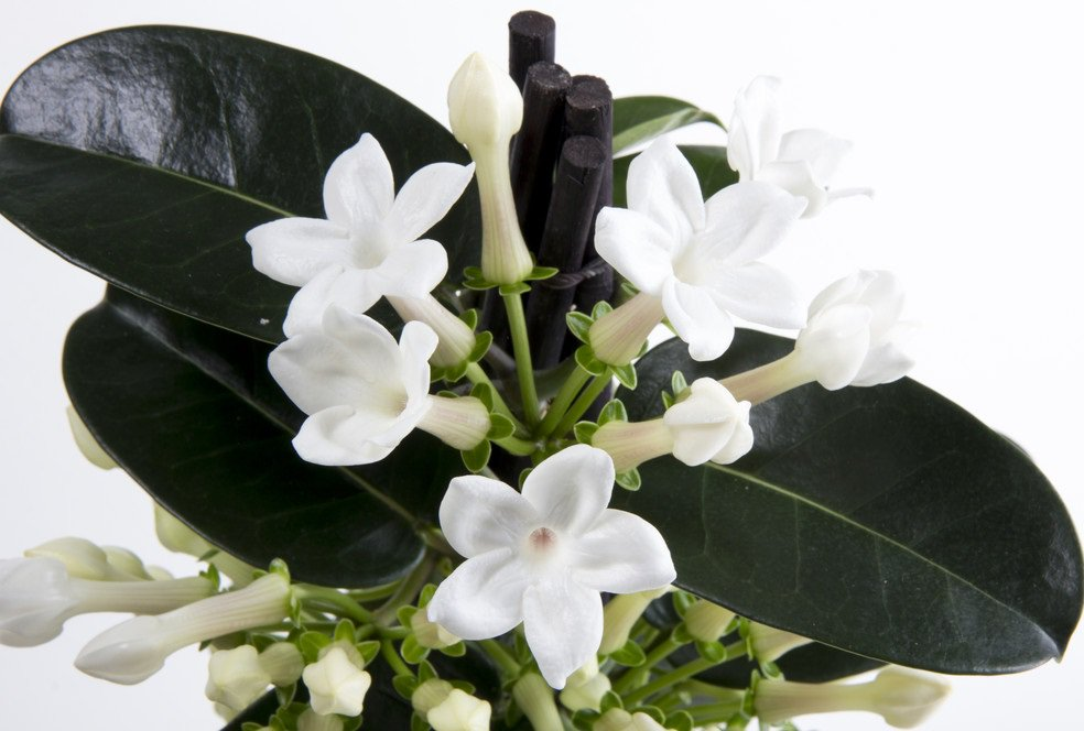 Pianta Rampicante Con Fiori Bianchi.Vigorplant On Twitter La Stephanotis Nota Anche Come Gelsomino