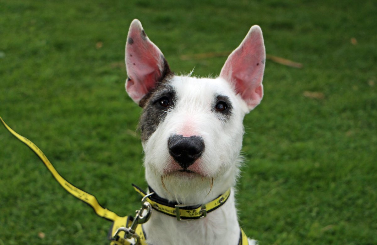 Just how cute is Tia&#39;s heart shaped nose. We are all just a little bit in love with this @DogsTrust girl  #dogstrustdarlington #englishbullterrier #bullterrier #bullterriersofinstagram #instabully #heart #cutedogsofinstagram<br>http://pic.twitter.com/Do2bv5Rnae
