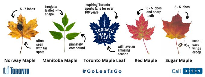 Time to brush up on Toronto maple leaves in time for the @MapleLeafs season opener! Find out more about trees and shrubs in Toronto from our Biodiversity Series at 🍁🍁🍁#MapleLeafs #GoLeafsGo Photo
