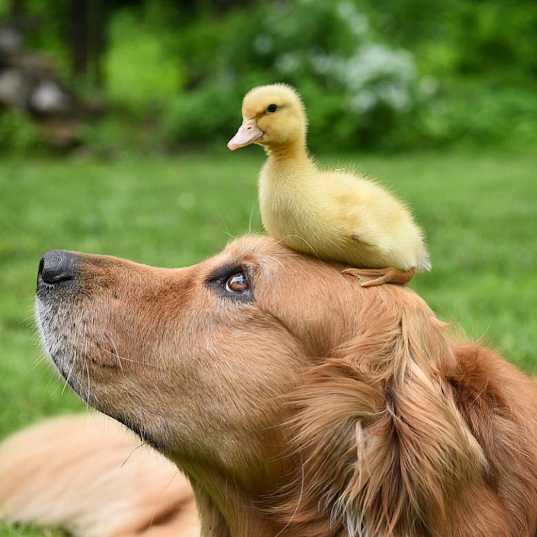 This is the world's sweetest dog – and he's raised a family of ducklings since they were a day old!