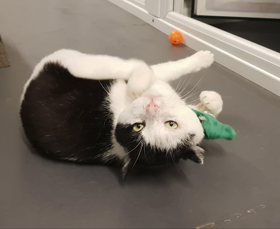 Ozone thinks today is an upside down kind of day  We don't know why this lovely boy is still at the shelter - he's friendly and so playful but keeps being overlooked. The shelter is open today and all weekend if you think he could be the rescue cat for you #Friyay #rescuecat<br>http://pic.twitter.com/Hfxa0FTwcm