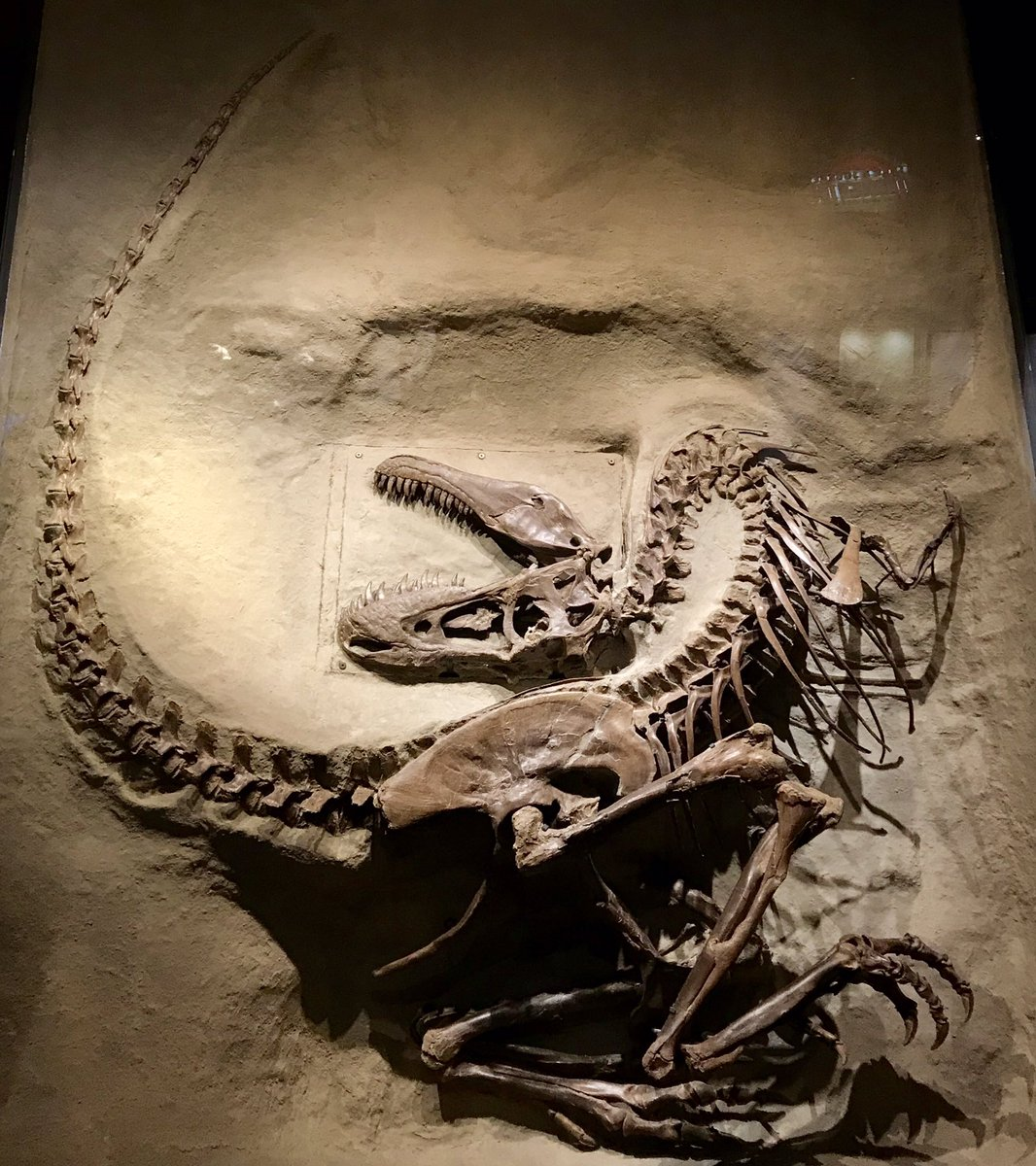 Mind-blowing, incredibly complete juvenile specimen of the tyrannosaur Gorgosaurus at @RoyalTyrrell in Alberta, Canada. #FossilFriday <br>http://pic.twitter.com/eCI0B0dR5t