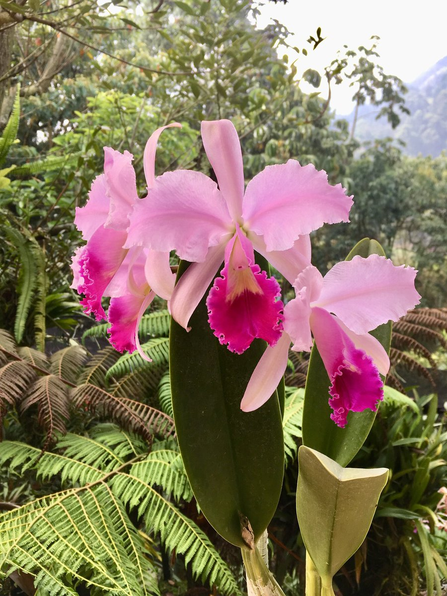 Diana G On Twitter Cattleya Trianae Colombia