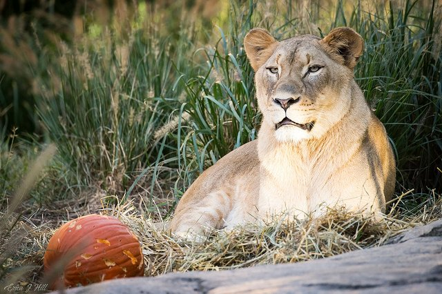 Kya is pumpkin spice and everything nice! #CZBGLionCubs #Caturday ow.ly/AQW730mh3gG