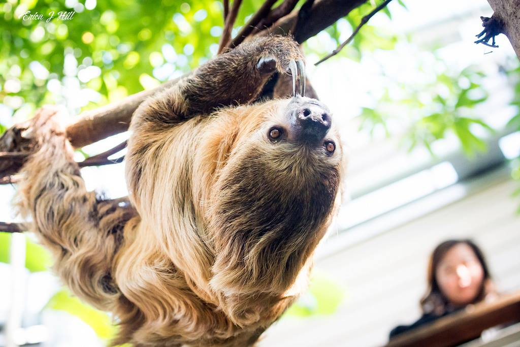 The sloth spends most of its time hanging upside down by its 4in long, claws. It sleeps, eats, mates & gives birth in this position. While most mammals' hair grows from its back ➡ belly, sloth's fur grows from its belly ➡ back, so rain runs right off! #InternationalSlothDay
