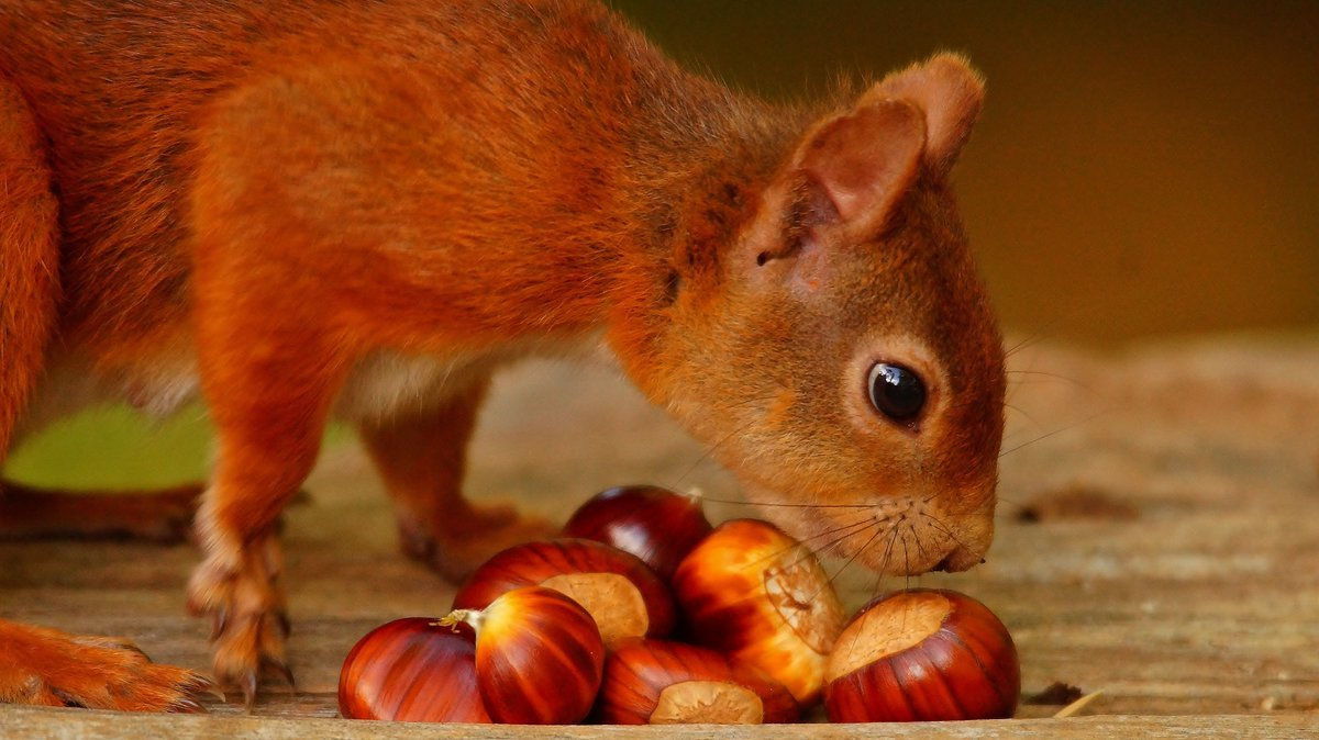 Thanks to your support our rangers can continue to look after the places where red squirrels live: https://t.co/9mBPN5kuUq  Photo: Annabel S.