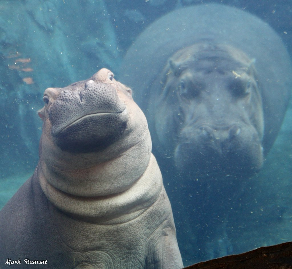"""See the Cincinnati premiere of """"Saving Fiona: The Story of the World's Most Famous Hippo,"""" a new Dreamscape documentary narrated by Thane Maynard this Saturday from 11:30am-12pm at @BBTB_cincy! Stick around and hell be signing copies of his book until 2! ow.ly/HfCz30mgYEP"""