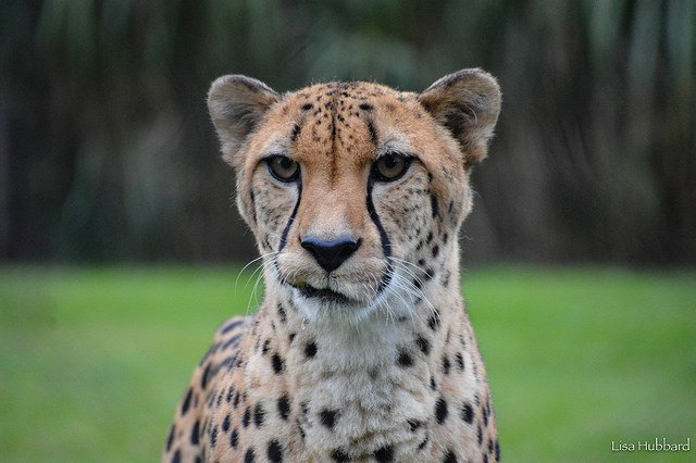 Handsome Tommy T the cheetah! Over the years, the Cincinnati Zoo and The Angel Fund have supported and participated in many cheetah conservation field projects and has contributed more than $1 million to cheetah conservation. ow.ly/6rxl30mh3Km
