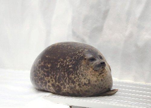 5000RT:【おまんじゅう】海遊館の「丸すぎるアザラシ」が人気 https://t.co/8wtR2wcvK5  頭がやや小さく、首をすくめて寝るため丸々として見えるという。餌を食べた午前11時と午後3時10分の少し後に寝る姿が見られるそう。