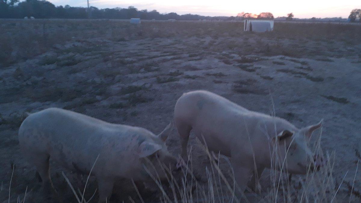 Couché de #soleil  sur le #porc .... #Quotidien #agriculteurs #Nièvre#agriculture #agribashing #agricole #agridemain @inaporc #sécheresse #porcspleinair #élevage #BienEtreAnimal #Egalim  - FestivalFocus