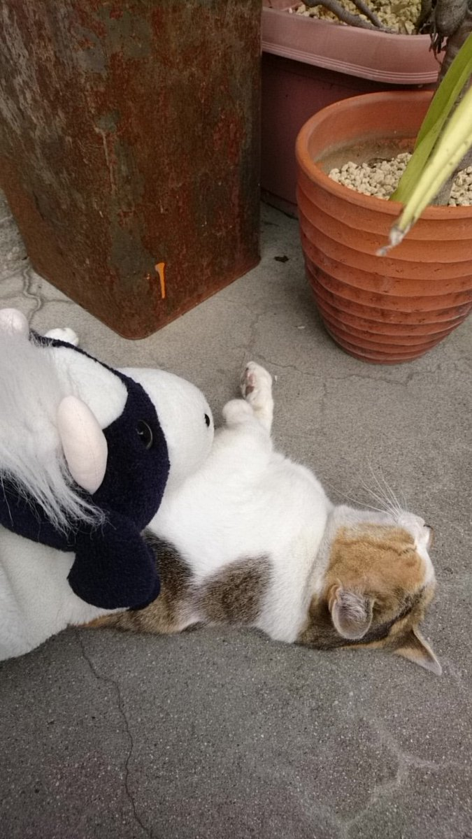 人はもちろん、うしにも動じない猫さんでありました。 触っても猫パンチされなかったよ。 マッサージをするうし。 #うしです #ねこ