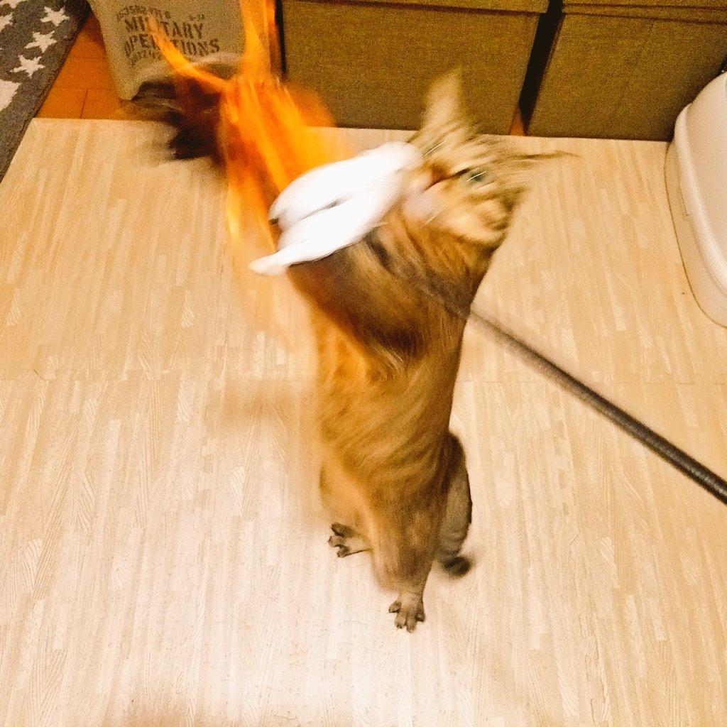 test ツイッターメディア - こちょらのおもちゃにいいなーと思って #キャンドゥ でハロウィン用のスティックを買ってみた。 激しく遊んでて、ブレブレでもはや誰かわかんないっつーの??(((*≧艸≦)ププッ  #ことら #リトルキャッツ出身 #猫縁出身 #にゃんこ #ねこ #ネコ #cat #キジトラ #にゃー #猫 #保護猫 #へたくそ選手権 https://t.co/H2ydpYk9kL