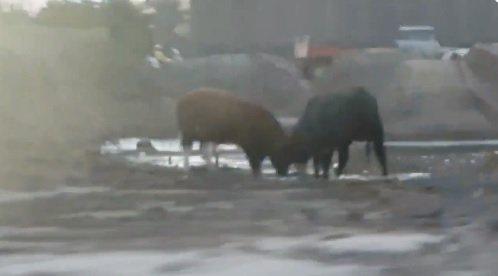 Twee koeien staan los langs de N465 Veilingroute dat is net voor de Jupiter in Honselersdijk. @PolWestland https://t.co/oi4vGkoBtt