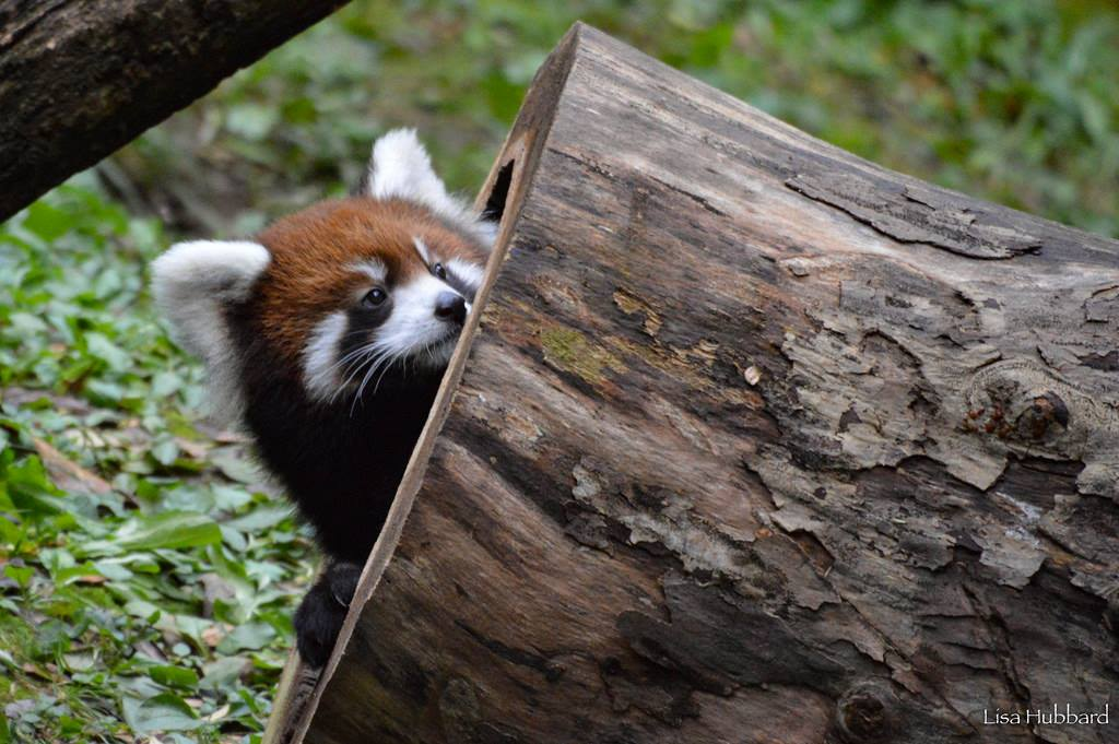 Our 2 baby red pandas, Linus and Kora, are having fun exploring all the elements of their outdoor yard! ❤